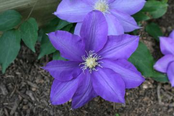 Will Goodwin Clematis
